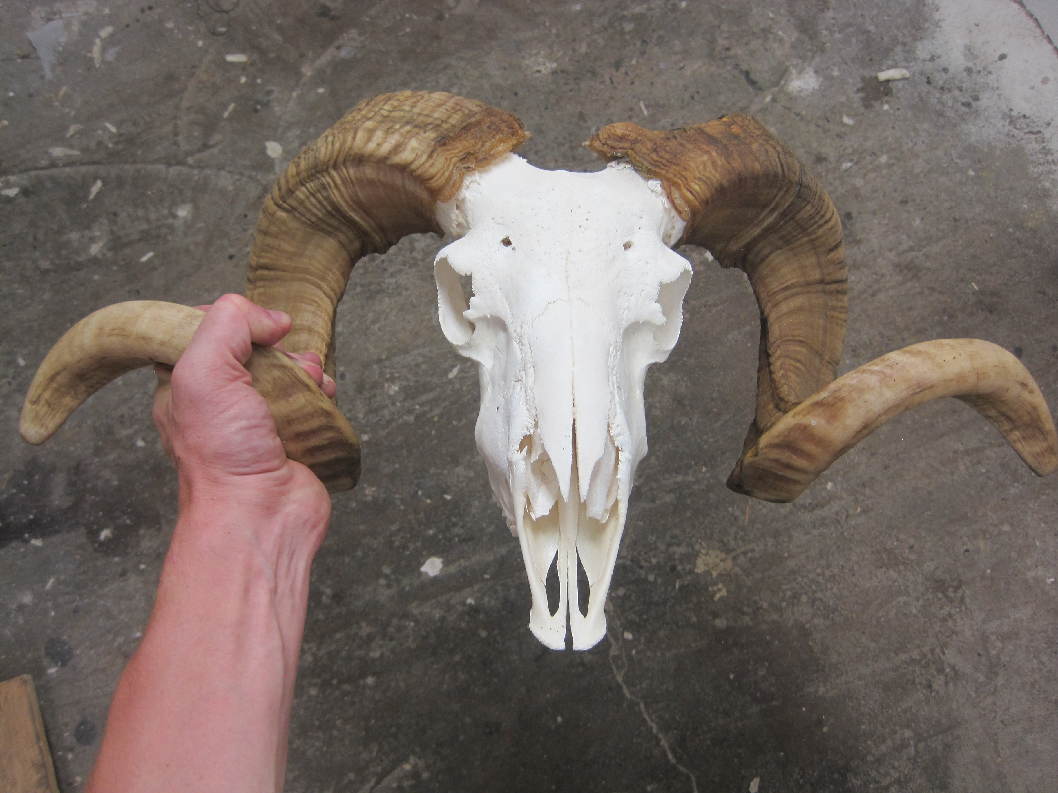 how to clean a deer skull without boiling